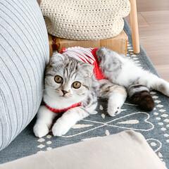 うちの子ベストショット/猫/スコティッシュ/猫と暮らす/猫との生活 名前を呼ぶとこちらを向く愛猫ぐう。完全に…