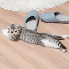 雨季ウキフォト投稿キャンペーン/猫/スコティッシュ/子猫/猫と暮らす 伸びてます。意外と長いですw。 ハッスル…