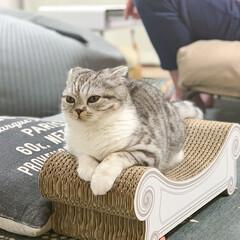 猫/猫のいる生活/猫との暮らし/スコティッシュ お気に入りの爪とぎの上に佇む愛猫ぐう。一…