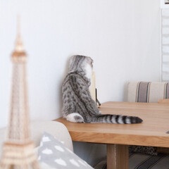うちの子ベストショット/猫/猫との生活/猫と暮らす/スコティッシュ テーブルの上に置いてあるLEDキャンドル…
