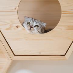 猫/猫との暮らし/猫のいる生活/スコティッシュ 六角ハウスから顔だけ出してお寛ぎ中の愛猫…