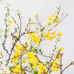 春の一枚/花のある生活/花/インテリアグリーン 先日買った枝もの。レンギョウと…もう1つ…(1枚目)