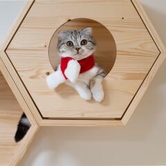 猫/猫との暮らし/猫のいる生活/スコティッシュ クリスマスバージョン。100均のマフラー…