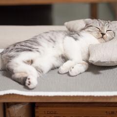 猫派/猫との暮らし/猫との生活/スコティッシュフォールド 猫を飼ってるので猫派ですが元々は犬派でし…