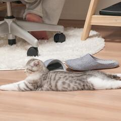 雨季ウキフォト投稿キャンペーン/猫/スコティッシュ/子猫/猫との暮らし 遊び疲れて床でクールダウン中の愛猫ぐう。…