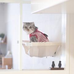 うちの子ベストショット/猫/猫との暮らし/猫のいる生活/スコティッシュ/ニャンモック キャットハンモックを取り付けたのは、最近…