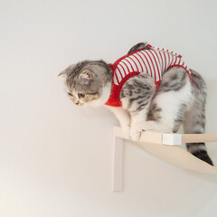 うちの子ベストショット/猫/猫との暮らし/スコティッシュ/猫のいる生活 猫用ハンモックから飛び降りようとする瞬間…