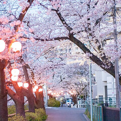 春の一枚/お花見/桜/桜並木/お花見スポット わが家の近所のお花見スポット。 夜は提灯…