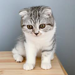 うちの子ベストショット/猫/スコティッシュ/子猫/猫との暮らし ちゃんと座った写真を撮ったことなかったな…