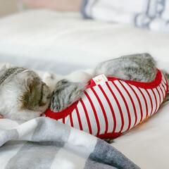 うちの子ベストショット/猫/猫との暮らし/猫との生活 早朝、私の太もも辺りを枕にして寝てる愛猫…