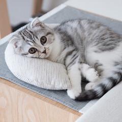 雨季ウキフォト投稿キャンペーン/猫/子猫/スコティッシュ/猫との暮らし お気に入りの場所でお友達からもらったケリ…