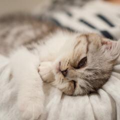うちの子ベストショット/スコティッシュ/スコティッシュフォールド/子猫/寝顔/猫 わが家にやってきて2日目のぐう。 人懐っ…
