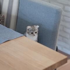 うちの子ベストショット/猫/スコティッシュ/子猫/猫との生活 私の椅子にちょこんと座ってるぐう。こうや…