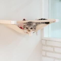 うちの子ベストショット/猫/スコティッシュ/猫のいる生活/猫との暮らし 新しくつけた猫用ハンモック。1度だけ自ら…