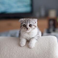 うちの子ベストショット/猫/子猫/スコティッシュ/スコティッシュフォールド わが家に来て3日目のぐう。私がパソコンに…
