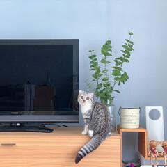 猫/インテリア/フェイクグリーン/アクセントクロス/猫と暮らす/ブルー わが家のアクセントクロスはスモーキーなブ…