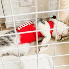 猫/猫と暮らす/猫との生活/スコティッシュ/うちの子ベストショット エリザベスカラーは大変そうなので術後服に…