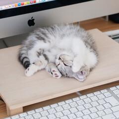 うちの子自慢/猫/子猫/スコテッシュ/猫との暮らし リラックスした様子で寝続ける愛猫ぐう。く…