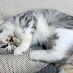 猫/猫のいる暮らし/猫のいる生活/猫と暮らす/スコティッシュ ケリケリピローに頭を埋めてこちらをチラリ…