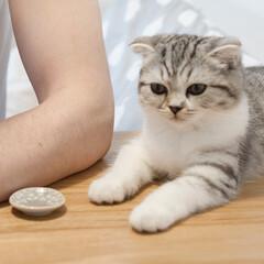 猫派/猫との暮らし/猫のいる暮らし/猫と暮らす/スコティッシュ 食事中にテーブルに登らないようにしつけよ…