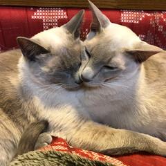 猫/ぎゅ〜/兄妹/大好き/かわいい/うちの子ベストショット♪/... 仲良し兄妹☺️💕 血は繋がってないけれど…