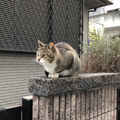 散歩/LIMIAペット同好会/LIMIAおでかけ部/フォロー大歓迎/ペット/猫/... 散歩中に見かけた猫さん。 表情が勇ましか…