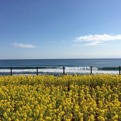 千葉/シーワールド/鴨川/菜の花/青空/海/... 鴨川シーワールドからの一枚! 菜の花が満…