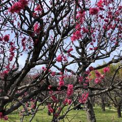 梅/大阪/万博記念公園/LIMIAおでかけ部/フォロー大歓迎/おでかけ/... 大阪の万博記念公園で開催されていた梅祭り…