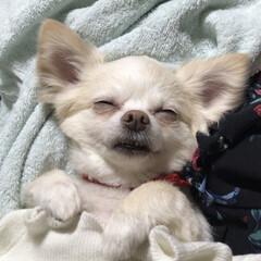 ペット/チワワ/犬/♂/洗濯物 洗濯物に埋れて 爆睡中❤️