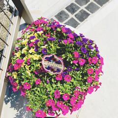 植物/花/住まい カリブラコアをGWに購入し、一度枯れてし…