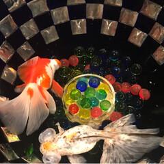 アクアリウム/夏休み/金魚/おでかけ 2017金魚アクアリウム📸続き…夏を感じ…(9枚目)