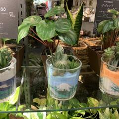 レイクタウン/観葉植物インテリア/かわいい鉢/観葉植物/おしゃれ/ガーデニング/... コレは今一番欲しい物です! サボテンの下…