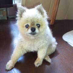 ポメラニアン/愛犬 三代目の愛犬🐶ポメラニアンのるるたん😭 …