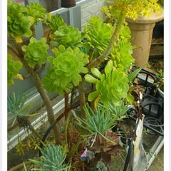 フェイジョアの花/ガーデニング/サツマイモ苗/移動販売車/玄関あるある ウィズコロナ時代は、6人がけのテーブルに…(3枚目)