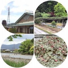 花のある暮らし/自然公園/蓮の花/令和の一枚/はじめてフォト投稿/フォロー大歓迎/... 水に浮かぶ蓮の花か、見たくて自然公園に来…(1枚目)