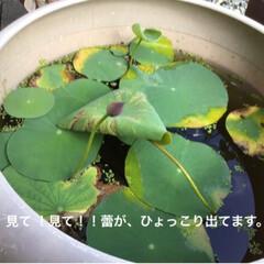 ブルーの水槽/浮き草/ハスの花/メダカの水槽/令和の一枚/はじめてフォト投稿/... 台風が、接近したらメダカの水槽大丈夫かな…