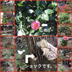 マルクパージュのある暮らし/自然派スキンケア/PR/スキンケア/マルクパージュ/おうちごはん/... 早いもので山茶花の花が、咲きました。庭を…(1枚目)