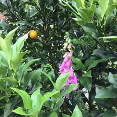 ガーデニング植物/花のある暮らし/雨上がりの朝/フォロー大歓迎/暮らし/雨季ウキフォト投稿キャンペーン 朝、庭のパトロールしたら金柑の木からひょ…