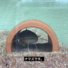 水槽/ナマズ こんばんは。水槽のナマズが、一匹だけど華…
