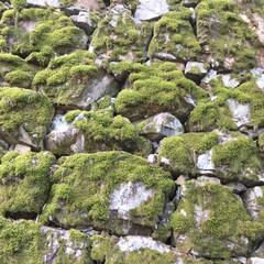 観葉植物/苔/フォロー大歓迎/おでかけ/旅行/風景 吉備津神社の石垣の苔が、すごい‼︎苔のア…