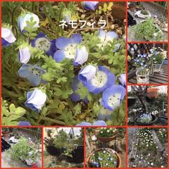 サカタのタネ 景観用 ネモフィラ インシグニスブルー(花)を使ったクチコミ「おはようございます。朝から庭先のパトロー…」