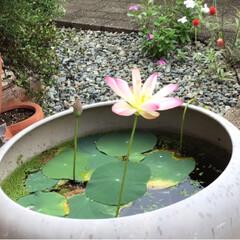 麦飯石 ビオトープ スイレン 黒土 水生植物の土 5L 花ごころ(園芸用土)を使ったクチコミ「おはようございます。庭のパトロールをした…」(2枚目)