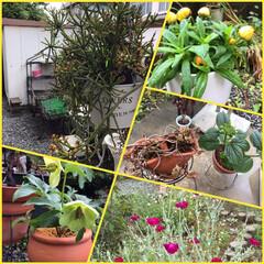 ガーデニング/雨上がり/100均/玄関あるある おはようございます。雨上がりに庭先をパト…