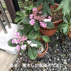 花のある暮らし/紫陽花 おはようございます。帰宅したら紫陽花がし…(4枚目)