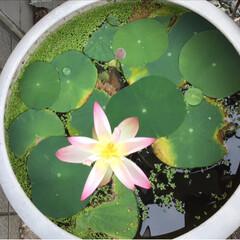 麦飯石 ビオトープ スイレン 黒土 水生植物の土 5L 花ごころ(園芸用土)を使ったクチコミ「おはようございます。庭のパトロールをした…」