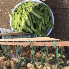 野菜作り/ガーデニング/フォロー大歓迎/LIMIAファンクラブ/GW/LIMIAごはんクラブ/... えんどう豆と玉ねぎを収穫した。 夕食は、…