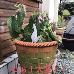 花のある暮らし/紫陽花 おはようございます。帰宅したら紫陽花がし…(1枚目)