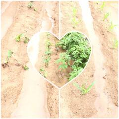 自然応用科学 じゃがいもの土 14L(園芸用土)を使ったクチコミ「今朝、大雨警報中に畑を見に行くと畝と畝の…」