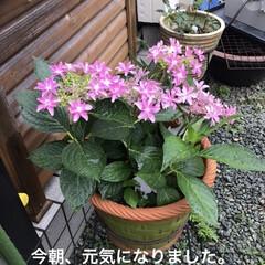 花のある暮らし/紫陽花 おはようございます。帰宅したら紫陽花がし…(3枚目)