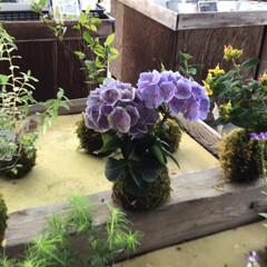 花のある暮らし/紫陽花の苔玉/令和の一枚/フォロー大歓迎/LIMIAファンクラブ/LIMIAインテリア部/... 道の駅で紫陽花の苔玉をはじめて見ました。…(1枚目)